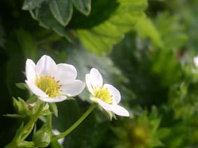 Blomstrande jordbær